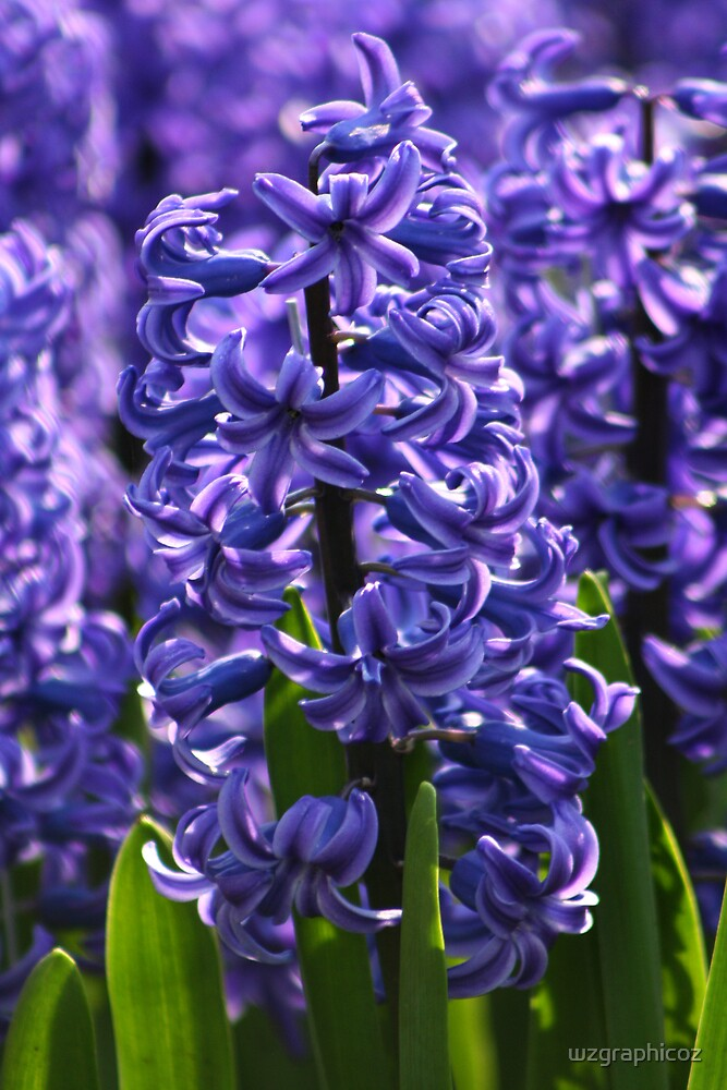 Blue Hyacinth by wzgraphicoz