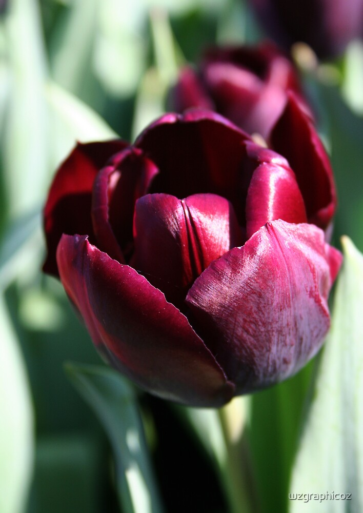 Black tulip by wzgraphicoz