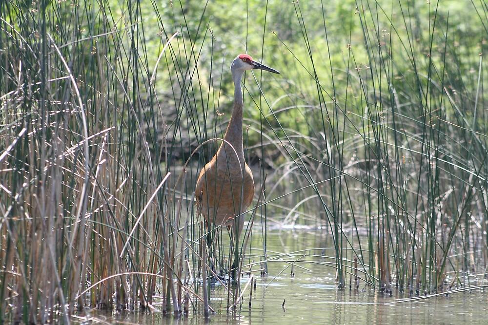 Nesting Sandhill Crane by declown