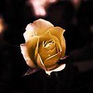 Rose Yellow- by Evita
