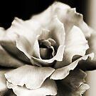 Rose in Sepia by Evita