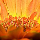 Gerbera Daisy by aljen01