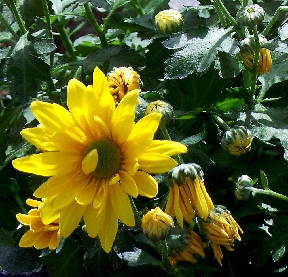 Crazy about my Daisy by Judi Taylor