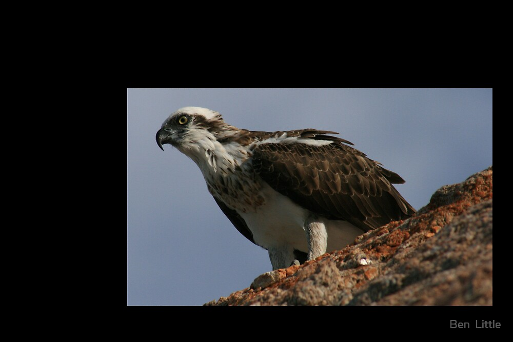 Friendly Osprey by Ben  Little