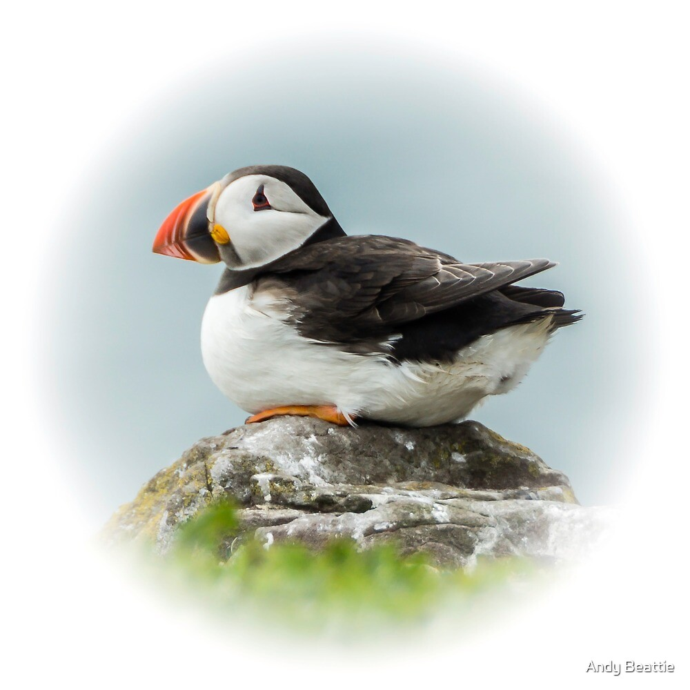 Atlantic Puffin by Andy Beattie