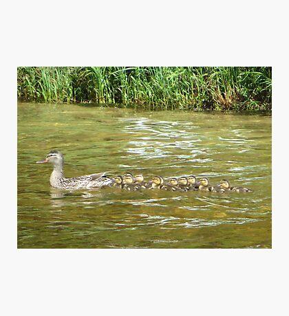 A Dozen Ducklings Photographic Print