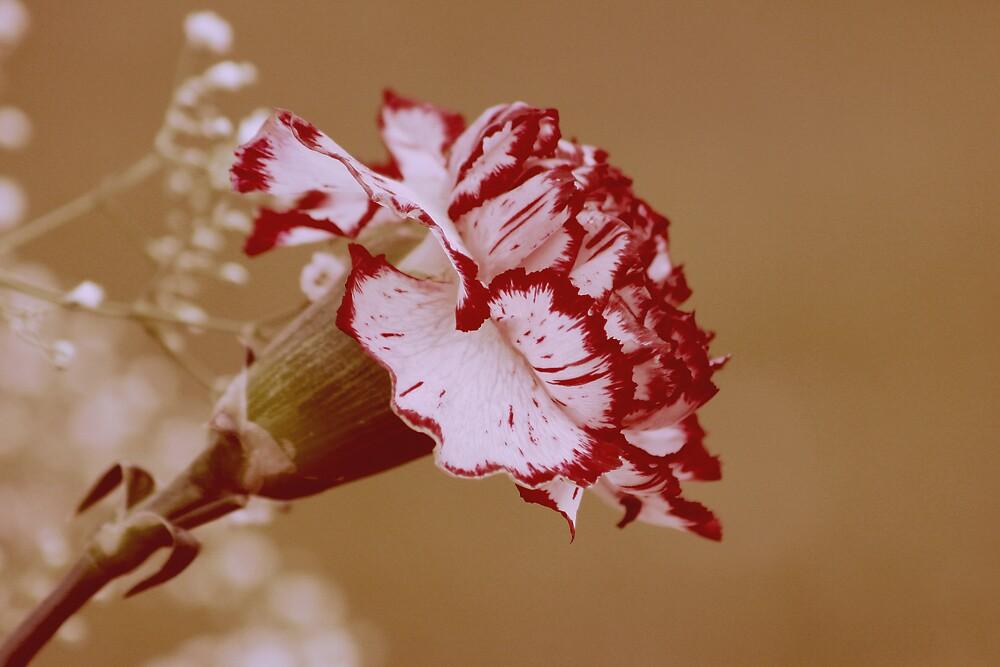 Carnation by KarenMcWhirter