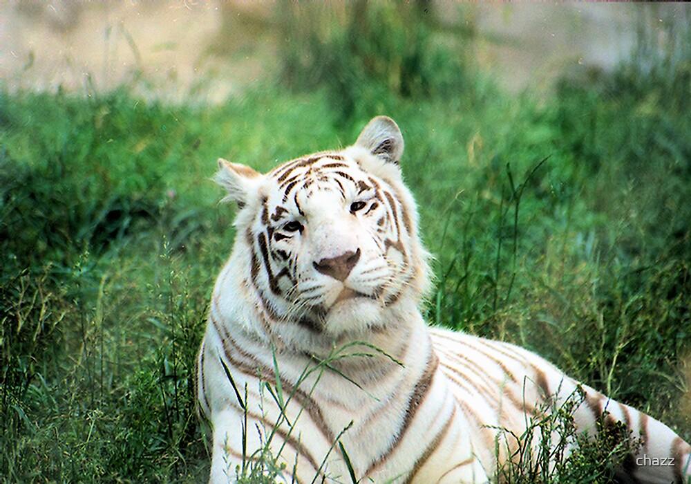 White Tiger by chazz