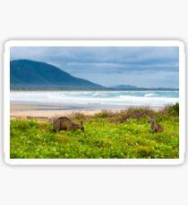 Group of kangaroos grazing  Sticker