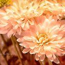 Pink Dahlias by Yannik Hay