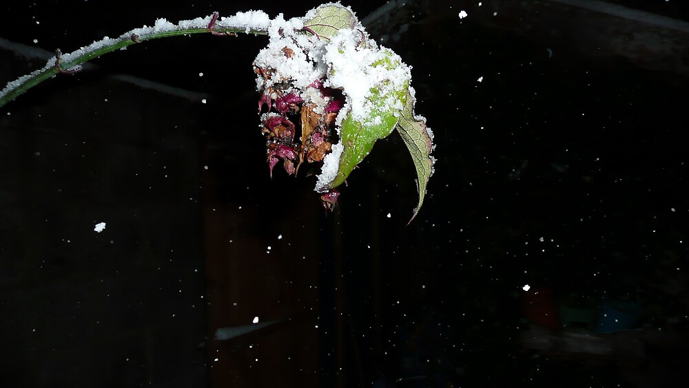 Pheasant Bush flower in snow 2 by RichieQuinn