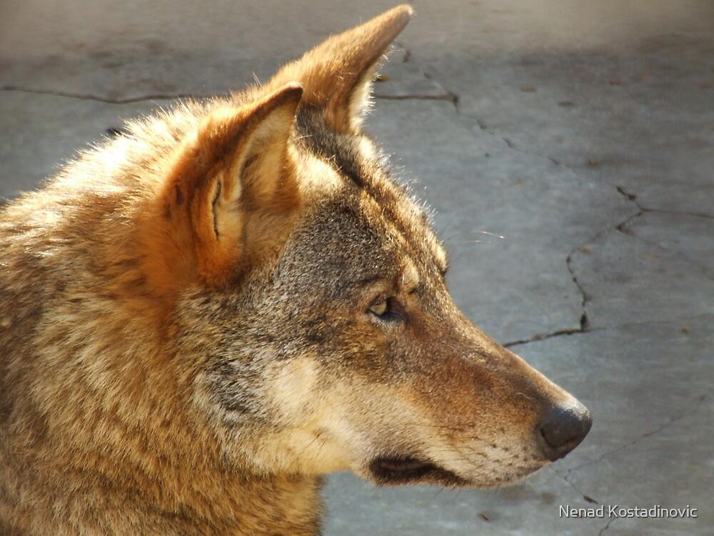 Wolf 2 by Nenad Kostadinovic