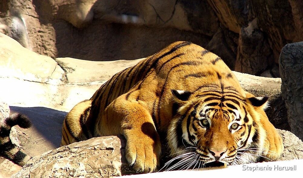 Pouncing Tiger by Stephanie Harwell