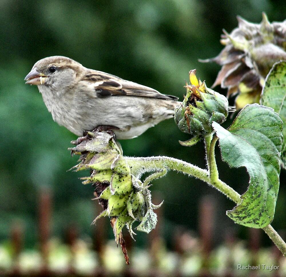Sparrow by Rachael Taylor