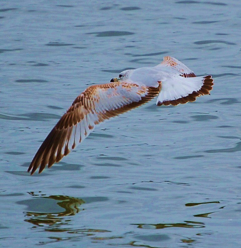 gliding over the tidal basin by dbcarolinagirl