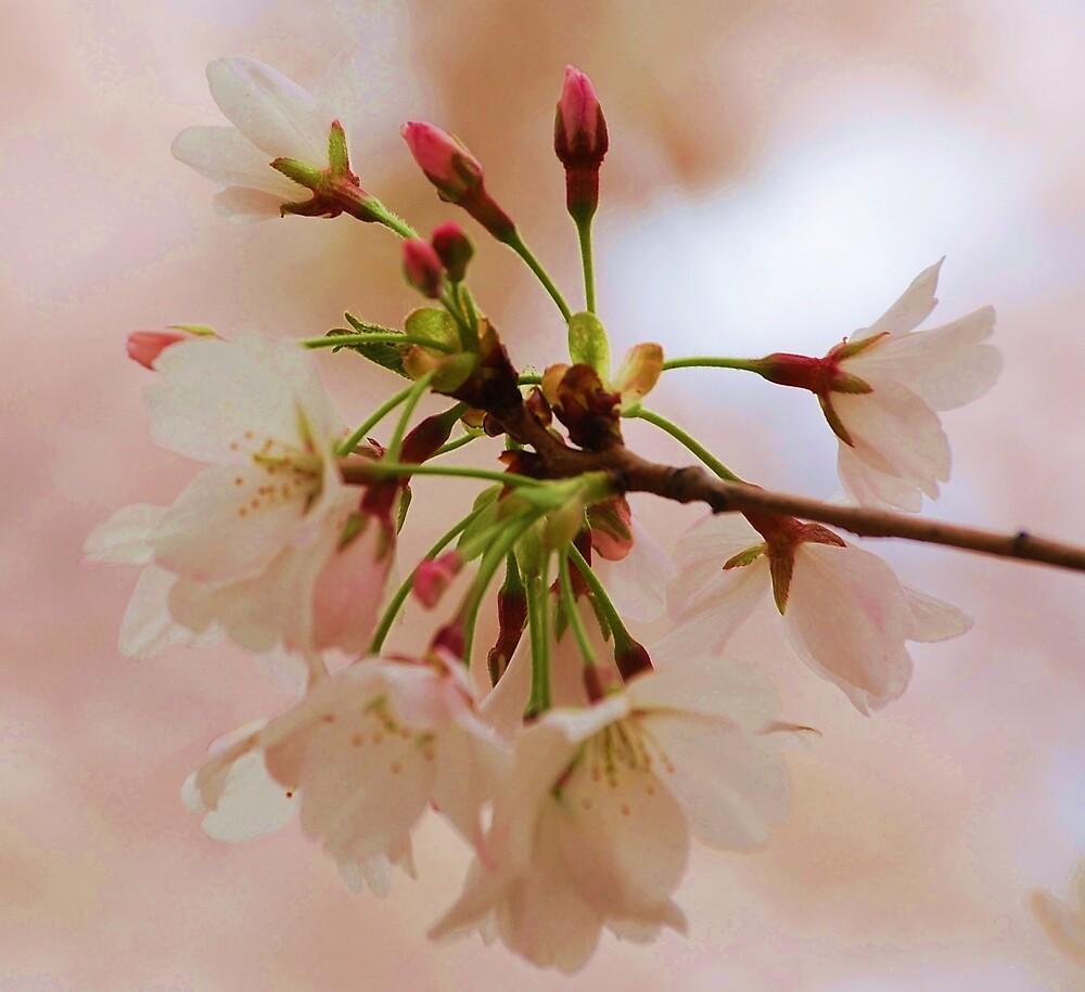cherry blossom full bloom by dbcarolinagirl