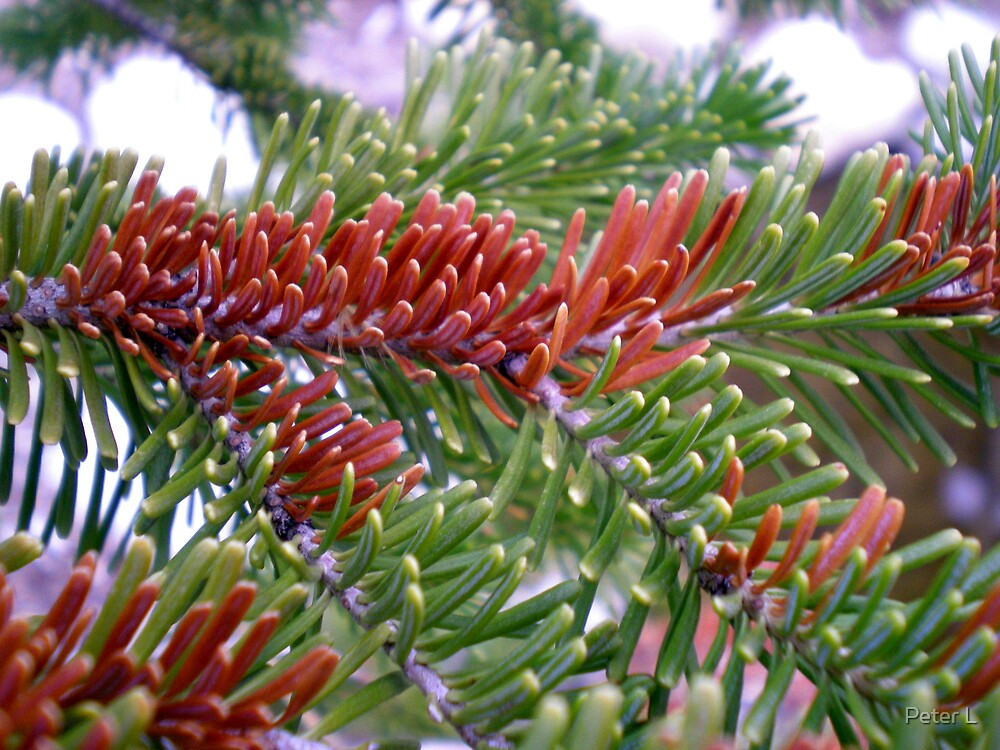 Multi-Colored Pine by Peter L