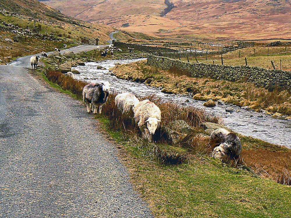 Herdwick Sheep. by mariarty