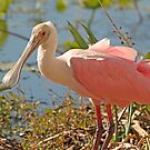 roseate spoonbill by Anthony Goldman