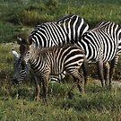 Zebra's in Africa 2014 by maureenclark