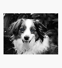 Blue merle  Photographic Print