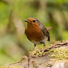 Robin Red Breast by Colin Shepherd
