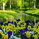 Violets by Bluesrose