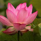 Pink Lotus Flower by hummingbirds