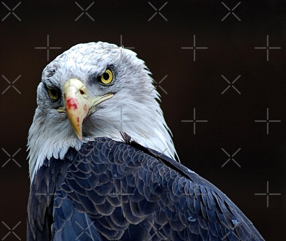 Eagle by nitelite