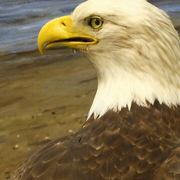 American Bald Eagle by captured-moment
