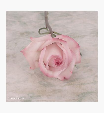 Pink Rose Beauty  Photographic Print