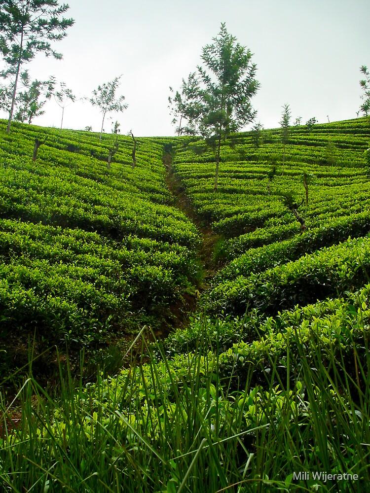 Tea Estates by Mili Wijeratne