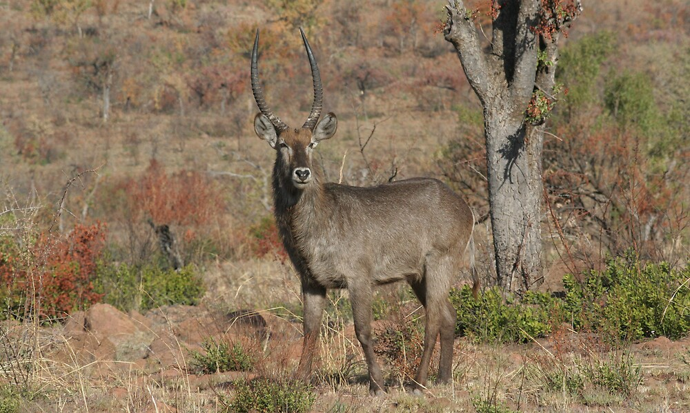 Male Water Buck by Paul Lindenberg