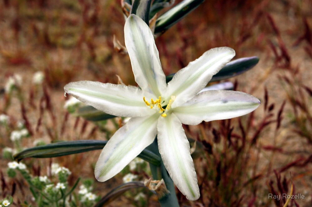 Desert Lily by Ray Rozelle