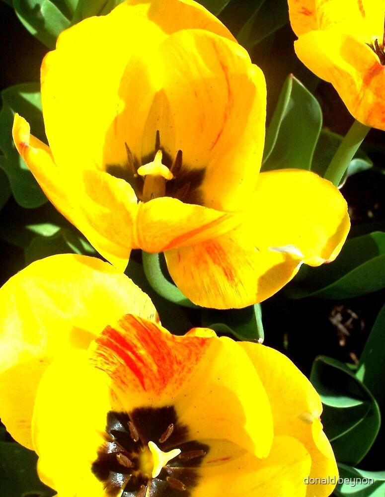 tulip 2 by donald beynon