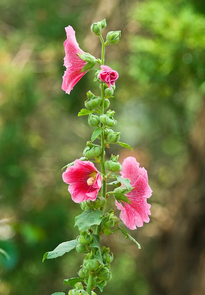 Tall Hollyhock by greyrose