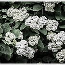 Hydrangeas - Annabelle Snowball Old-Fashioned Hydrangeas by MotherNature2