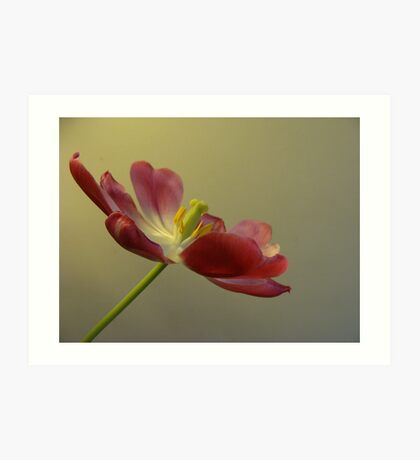 Tulip wide open. Art Print