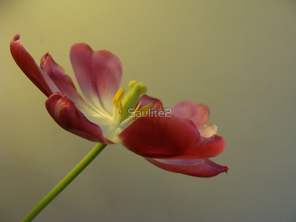 Tulip wide open. by Saulite2