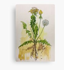 Dandelion Botanical illustration - Taraxacum officionale Canvas Print