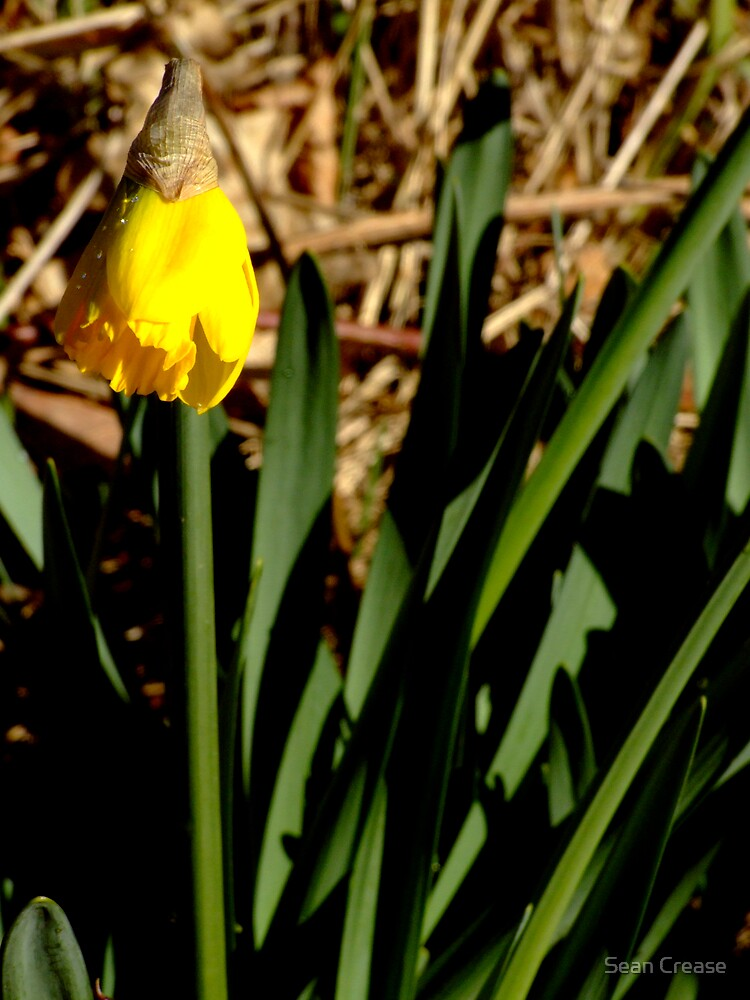 First Flower Of Spring by Sean Crease