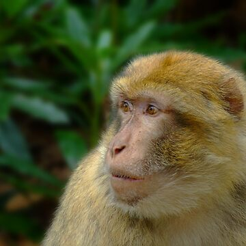 Barbary Macaque by Sparks68