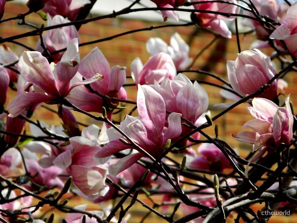 Tulip Tree  by ctheworld