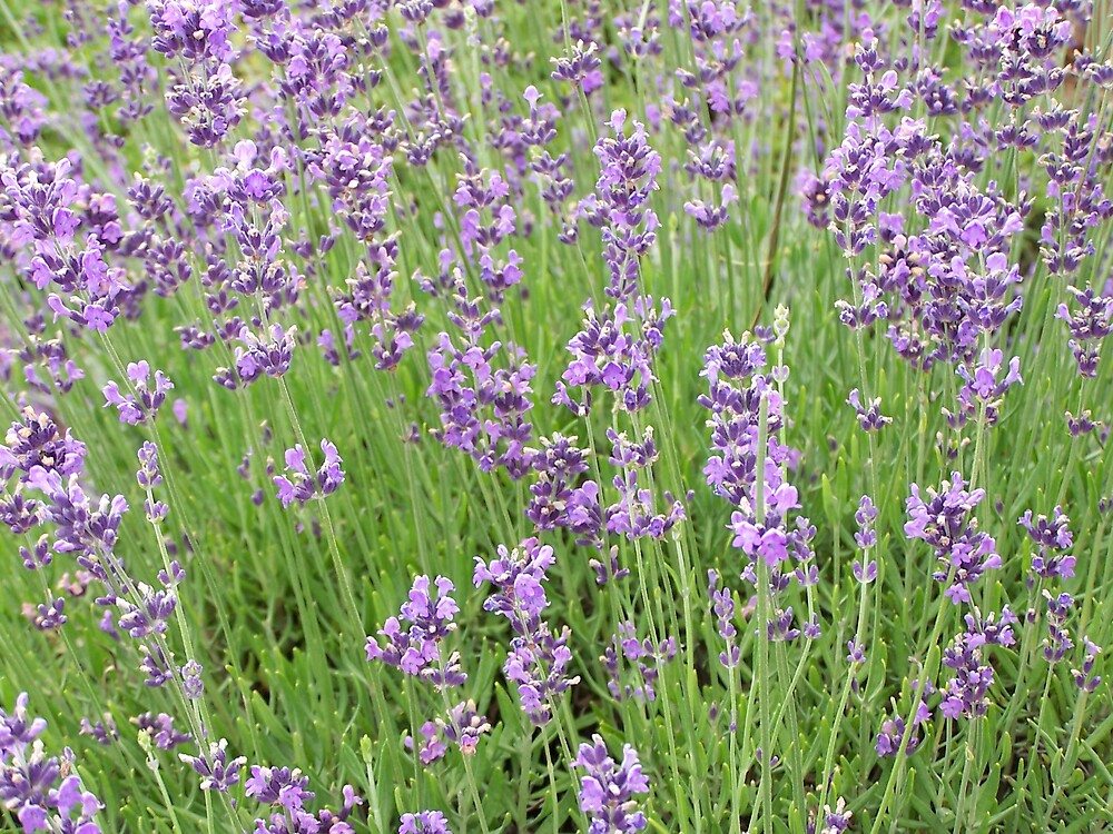Lavender 3 by Carrie Norberg
