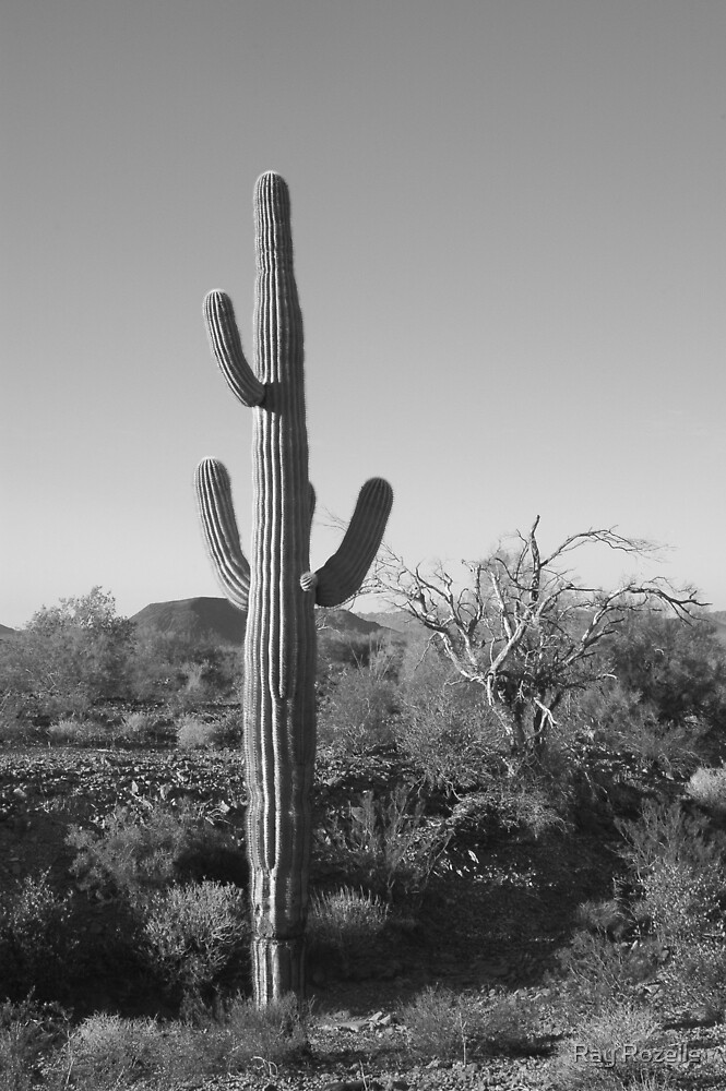 Saguaros by Ray Rozelle