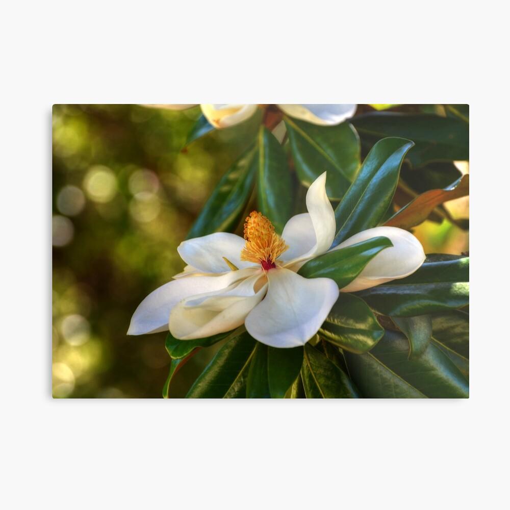 Südliche Magnolienblüte Metallbild