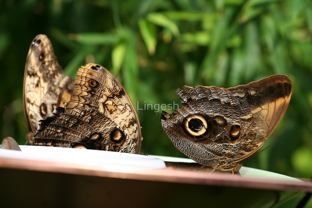 Beatiful Butterfly by Lingesh