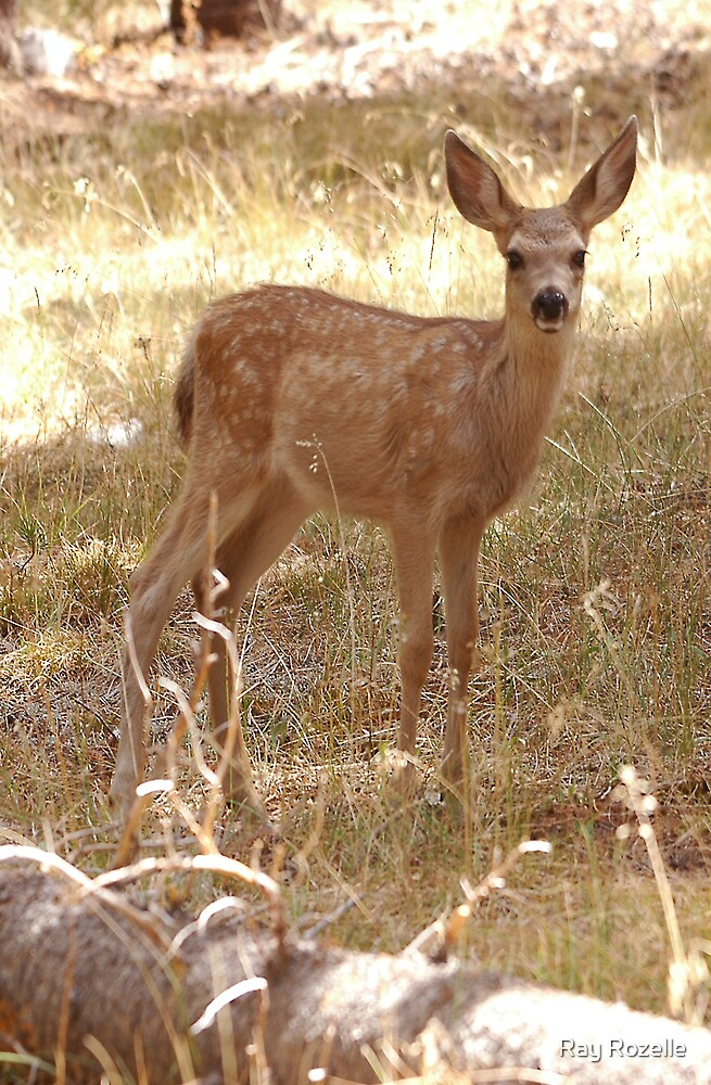 Fawn by Ray Rozelle