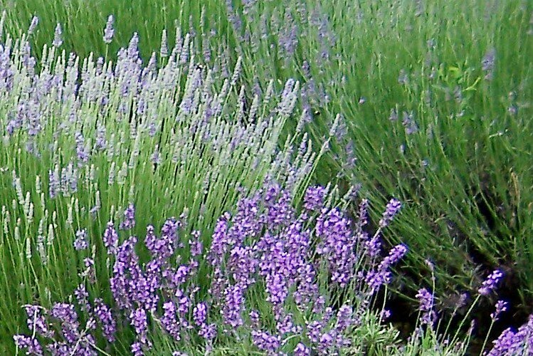 Lavender 9 by Carrie Norberg