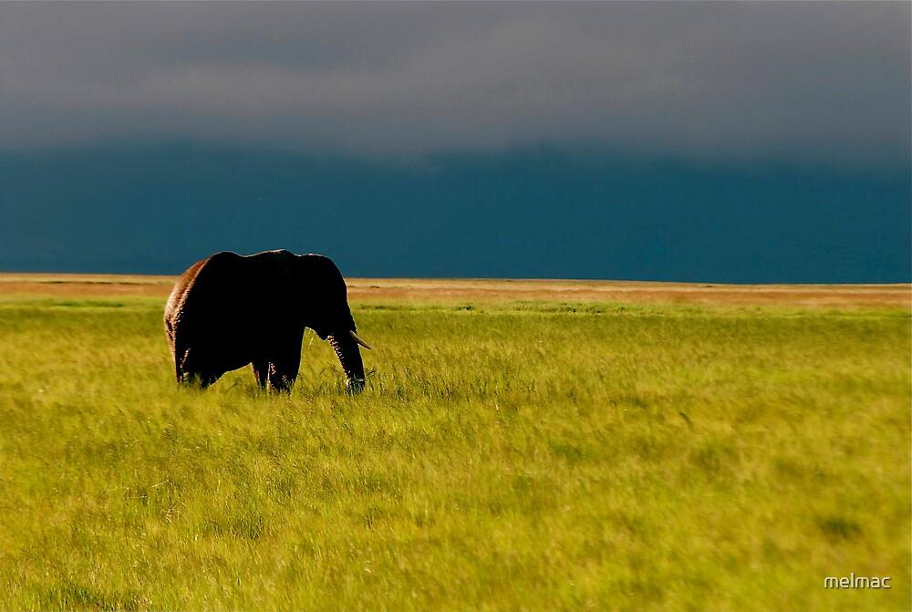 elephant wanderer 1 by melmac